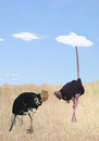 Cartoon: balance (small) by Zoran tagged balance,ostrich,sand,cloud,cover