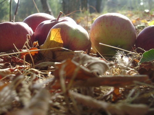 Cartoon: my grandma s apples (medium) by CIGDEM DEMIR tagged apple,red,photo,nature